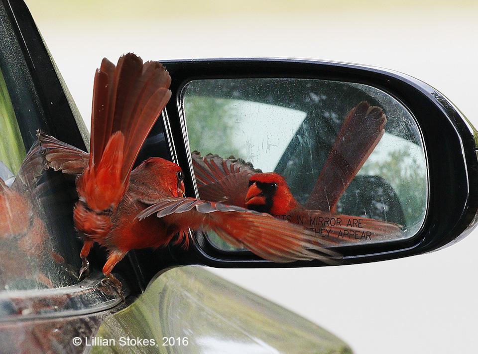 cardinal1©LillianStokes.jpg