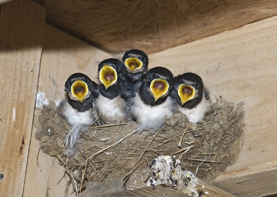 Hungry-swallows.jpg